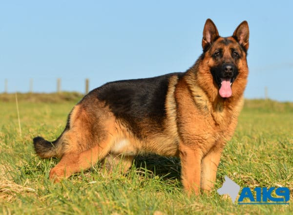A1K9 Family Protection Dog Rocky Stand
