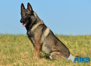 A1K9 Family Protection Dog Taiko Sit