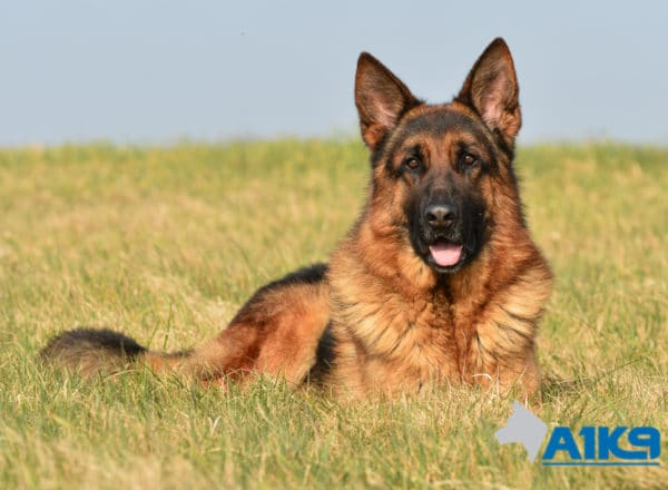 A1K9 Family Protection Dog Vic Down