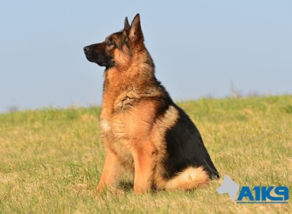 A1K9 Family Protection Dog Vic Sit