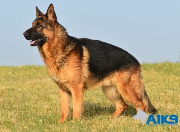 A1K9 Family Protection Dog Vic Stand
