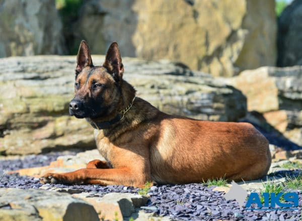 A1K9 Family Protection Dog Victor Down