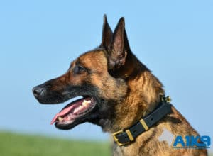 A1K9 Family Protection Dog Victor Head