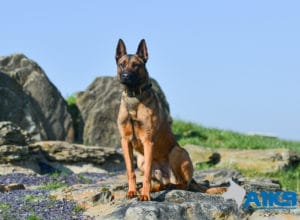 A1K9 Family Protection Dog Victor Sit