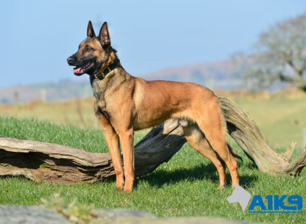 A1K9 Family Protection Dog Victor Stand