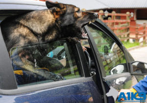 A1K9 Family Protection dog Anti Car Jacking